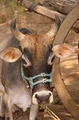 foto of brahma-bull  - Portrait of an Indian zebu bull red - JPG