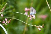 blue Coenonympha glycerin Butterfly