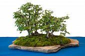 Elms As Bonsai-tree On A Stone Plate