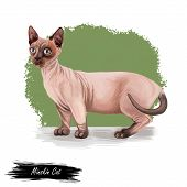 Minskin Cat Crossing Of The Munchkin With The Sphynx. Bambino Cat Breed Isolated On White Background poster