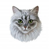Ragamuffin Breed Of Domestic Cat Isolated Hand Drawn Portrait. Ragdoll With Thick, Rabbitlike Fur Di poster