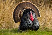 stock photo of gobbler  - Thanksgiving Turkey Tom strutting and displaying his feathers - JPG