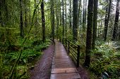 Lynn Canyon Park, North Vancouver, British Columbia, Canada. Beautiful Wooden Path In The Rainforest poster