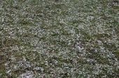Mid-high Lawn With Snow Texture. Park Lawn Texture. Top View, Overhead Shot. Grassplot Surface Backd poster