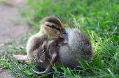 Grooming Duckling