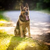 foto of alsatian  - Beautiful German Shepherd Dog  - JPG