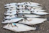 stock photo of fighter-fish  - Freshly rod caught mackeral and seabass of the British Isles - JPG
