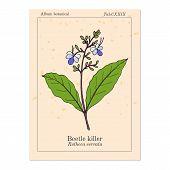 Beetle Killer, Or Blue-flowered Glory Tree, Blue Fountain Bush Clerodendrum Serratum , Medicinal Pla poster