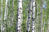 Young Birch With Black And White Birch Bark In Spring In Birch Grove Against The Background Of Other poster