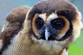 Brown wood owl of Malaysia