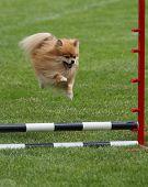 Flying Pomeranian