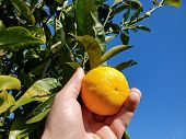 People Collect Italian Orange, Homemade Genuine Fruit, Winter Product poster