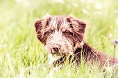 Adorable Brown Dog - Rescue Dog Sitting On A Grass poster