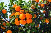 Orange Fruits. Orange Garden. Oranges On The Plant. poster