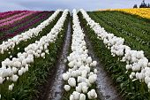 White Tulip Hills Flowers Skagit Valley Washington State