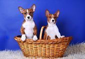 Two little Basenji puppys