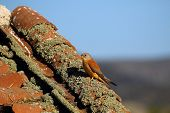 The Lesser Kestrel (falco Naumanni) Sitting Nha An Old Village Roof. Kestrel In The Village. poster