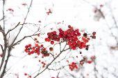 Seasonal Berries. Christmas Rowan Berry Branch. Hawthorn Berries Bunch. Rowanberry In Snow. Berries  poster