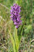 Marsh flecked orquídea