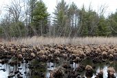 picture of marshlands  - Generic vegetation in endangered marshland - JPG