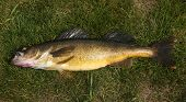 walleye fish over grass