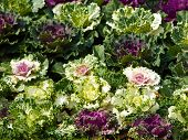 image of frilly  - Colorful flowering cabbage in nature as background - JPG