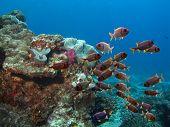 Flindersfish