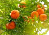 stock photo of tangerine-tree  - Tangerines on a tree branch - JPG