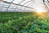 stock photo of strawberry plant  - Sunset over agricultural greenhouse organic strawberry field - JPG