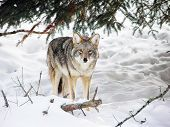 image of coyote  - Wild coyote looking at camera during winter - JPG