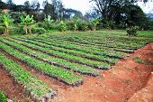 stock photo of coffee grounds  - African arabica coffee nursery - JPG