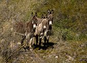 image of wild donkey  - Small herd of wild donkeys or burros in the Arizona desert - JPG