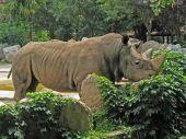 Animal Park - White Rhinoceros