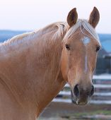 The Lovely Head Of a Palomino Australian Stock Horse