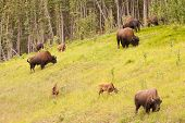 Wood Buffalo Bison Bison Athabascae Herd Grazing