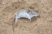 pic of dead mouse  - Dead rat lying on the sea sand close - JPG