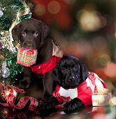labrador retriever and   christmas  present