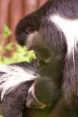 image of baby spider  - Mother spider monkey grooming her new baby - JPG