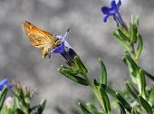 Woodland Skipper on Lithodora