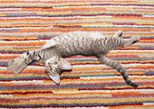 stock photo of heartwarming  - Tabby kitten with spotty belly lying on striped rug with outstretched paws - JPG