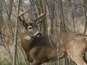 stock photo of buck  - A large Whitetail Deer buck looking back - JPG