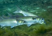 foto of mullet  - A small school of Grey Mullet swim just over the mossy green bottom feeding on deitritis also known as marine snow in the crystal clear freshwaters of Fanning Springs in Florida - JPG