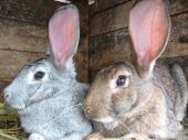 foto of rabbit hutch  - grey and brown rabbits sitting in the hutch - JPG