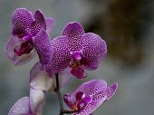 stock photo of orquidea  - Beautiful spotted purple orchid over a grey background