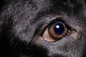 Labrador Retriever Eye
