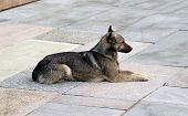Watchful Brown Dog Lying On The Stone Slabs