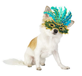 stock photo of chiwawa  - Chihuahua dog with bright carnival mask isolated on white background - JPG