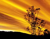 Australian autumn sunset with gum tree silhouette