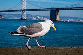 A Western Gull Near The San Francisco-oakland Bay Bridge