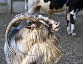 picture of billy goat  - Goat looks left by sunset - JPG